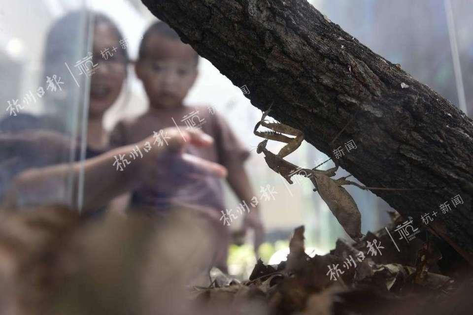 勾背枯叶螳螂。