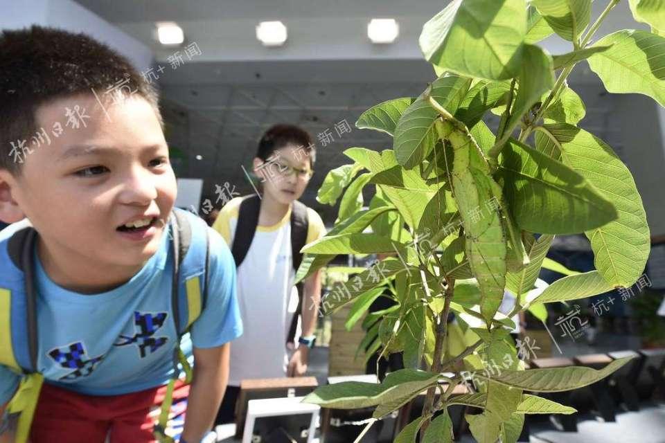 巨扁竹节虫。