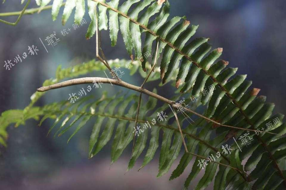 杆竹节虫。