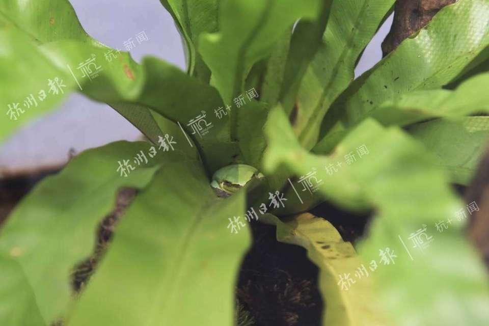 中国雨蛙。