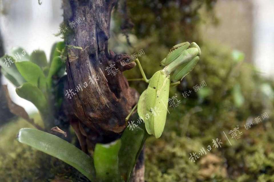 广斧螳螂。