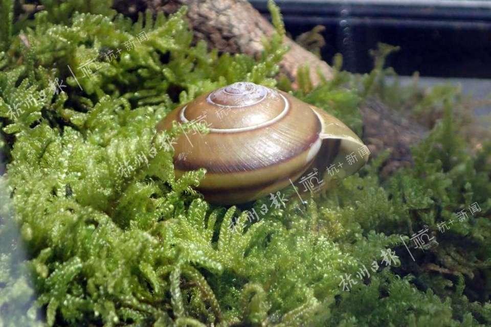 花旋蜗牛。