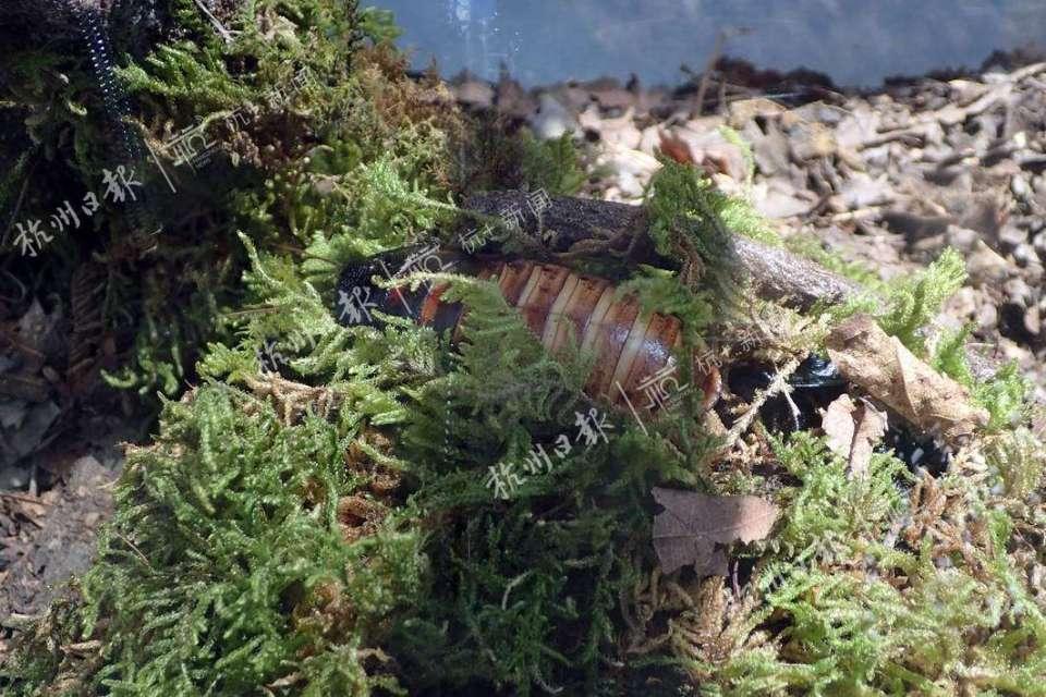 马达加斯加发声蟑螂。