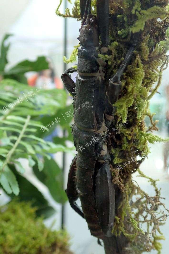 巨棘竹节虫。